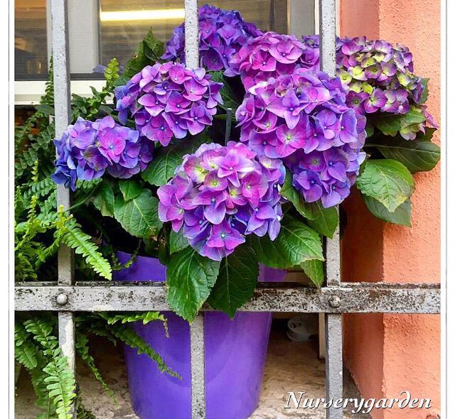 Ortensie con pochi fiori a ogni fiore il suo vaso - Ortensie colori ...