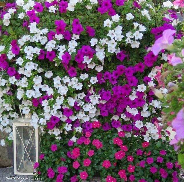 Piante Surfinie : Decorazioni giardinaggio fiori mynurserygarden
